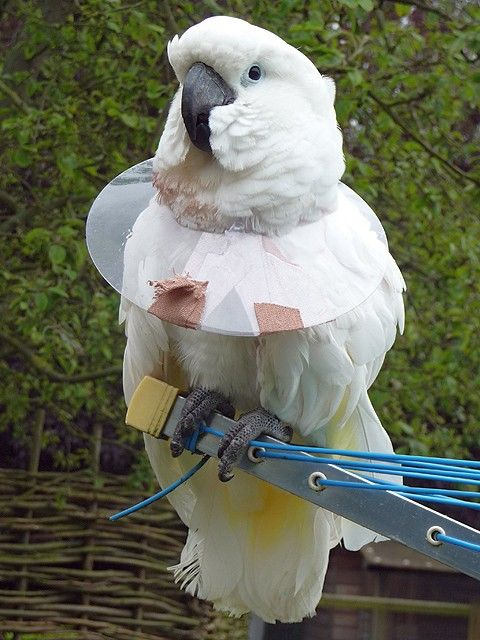 This Home Made Plastic Bird E Collar Is An Affordable Way To Offer A