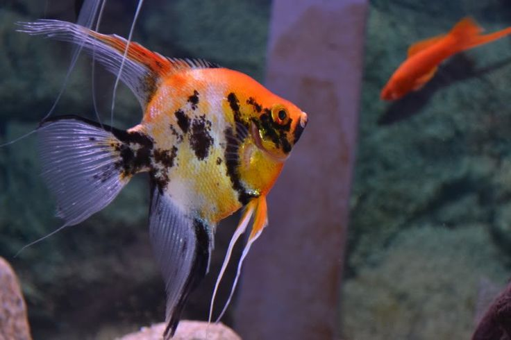 Recipe And Tips 8 Angelfish Tank Mates To Accompany Your Angelfish Angel Fish Angel Fish Tank Aquarium Fish