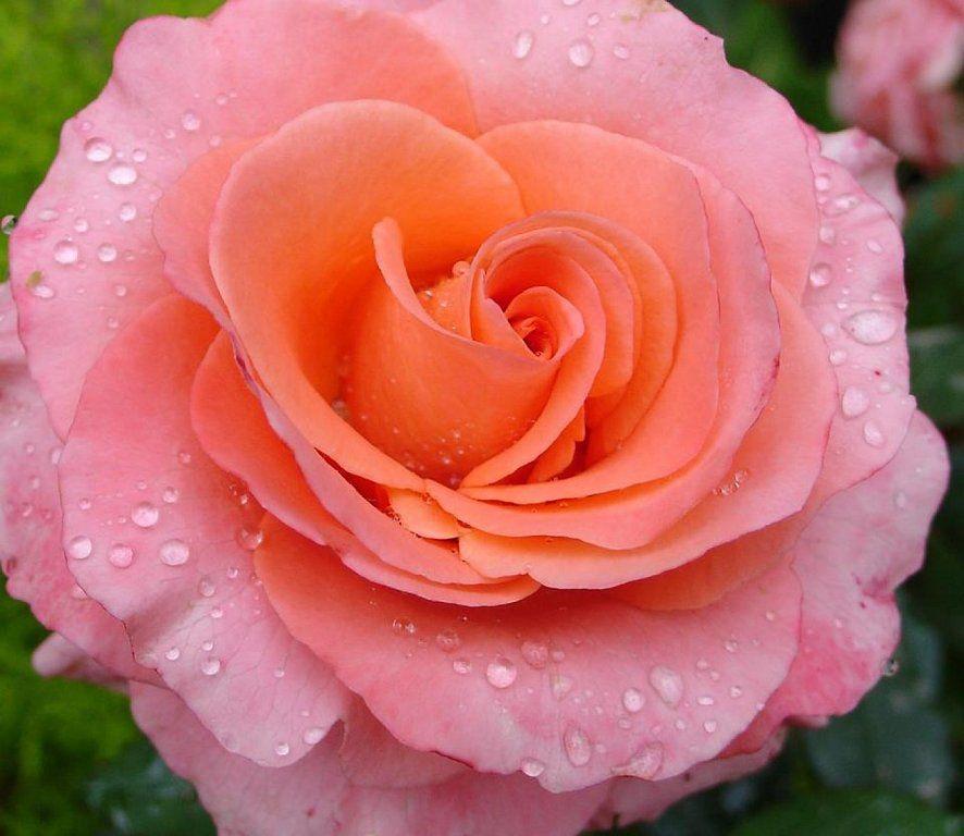 Imagenes de flores bonitas imagen en hd 3 rosas pinterest flores bonitas fotos bonitas - Fotos flores preciosas ...