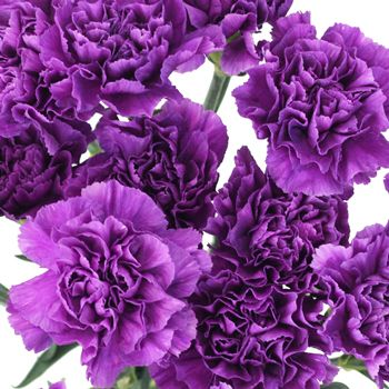 Deep Purple Carnation Flowers Fiftyflowers Com Carnation Flower Purple Carnations Flowers Photography