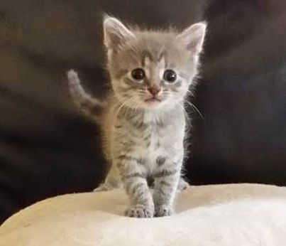 Adorable Kittens For Sale We Have 4 Absolutely Beautiful Kittens For Sale They Were Born On November 4th Beautiful Kittens Kittens Cutest Cats And Kittens