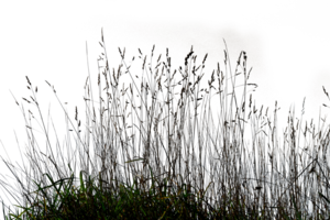 Grass 03 png by gd08 http://gd08.deviantart.com/art/Grass-03-png-257664253
