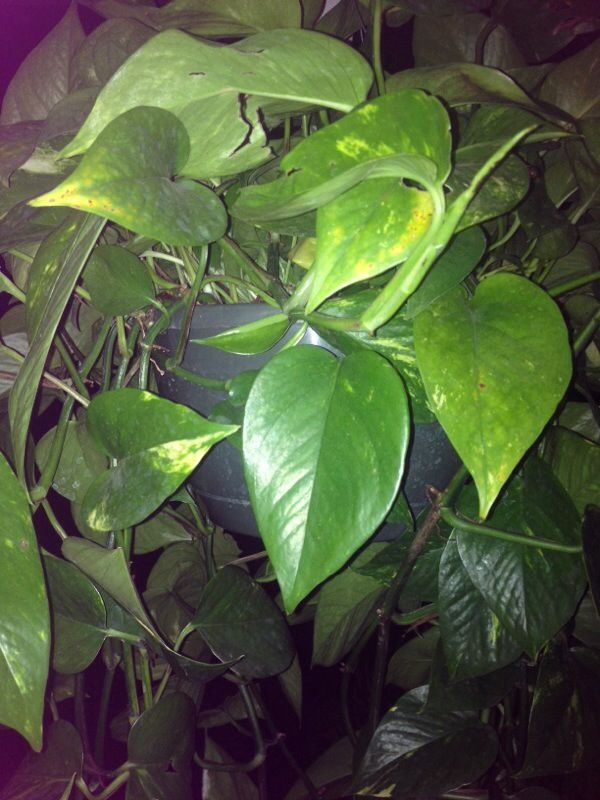 Pothos (epipremnum Aureum): This Is A Pothos, Among The Easiest Of House  Plants, Able To Survive With Little Light And Care. Vines Can Reach 30 Ft.,  ...