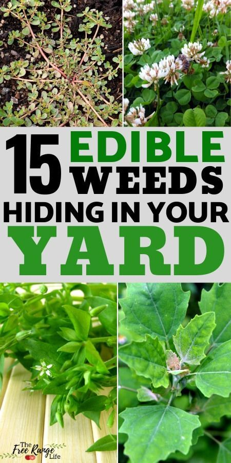 Edible weeds are a great way to increase the foods you grow- and consume- without any additional work on your part. Here's a list of 15 edible weeds to try!  Identifying and eating weeds and wild edibles is a great survival skill that can serve you well in time where food might be short!
