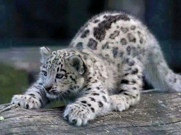 Baby Snow Leopardsooo Cute