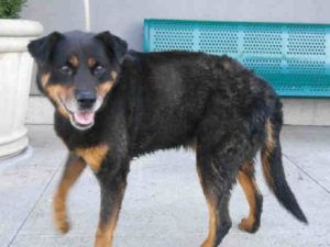 SUPER URGENT Brooklyn Center JUSTIN – A1089452 MALE, BLACK / TAN, ROTTWEILER…