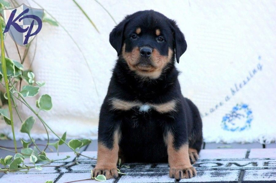 Bear rottweiler puppies for sale in pa keystone