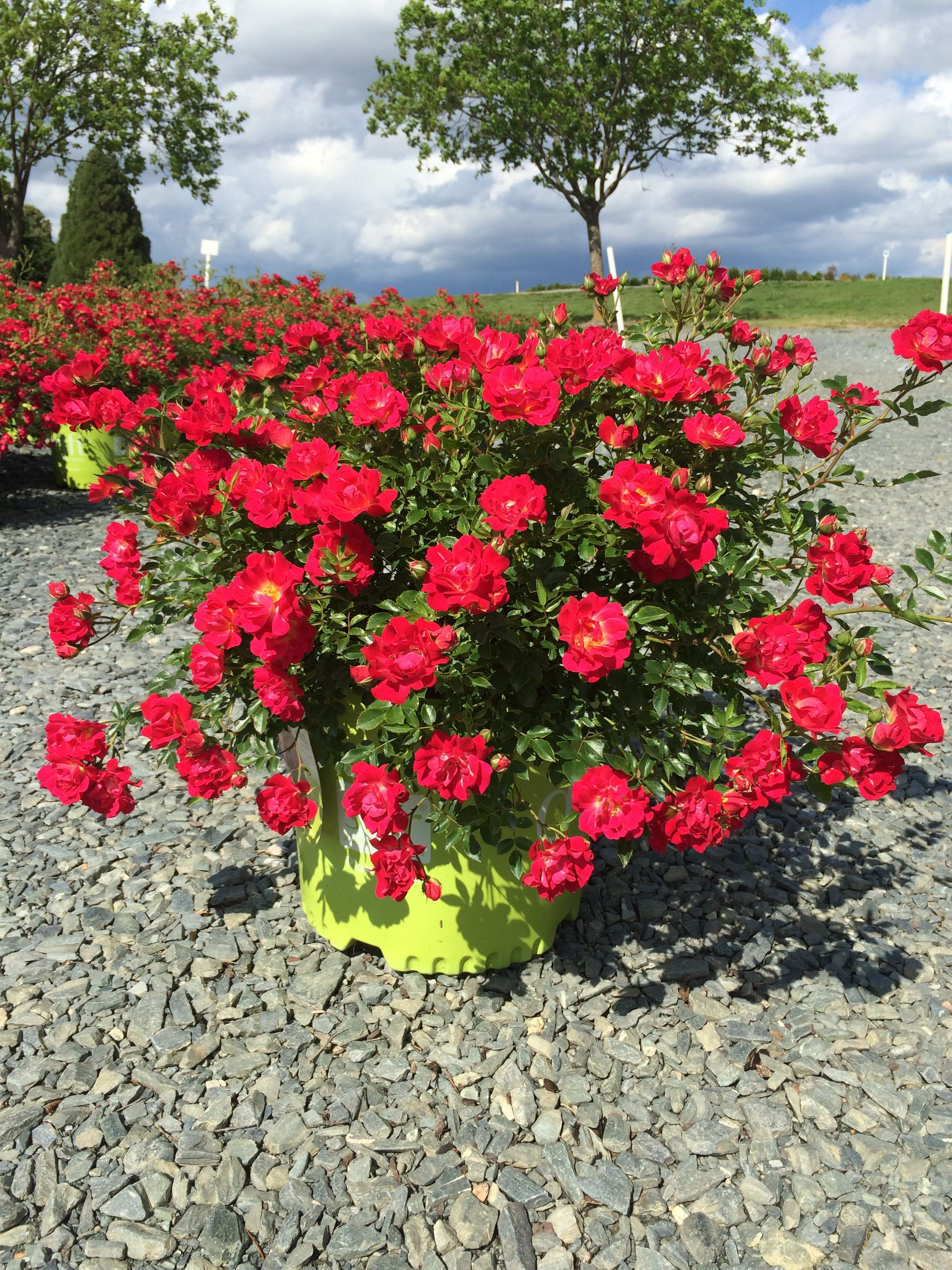 Pin by Cheryl Marcum on Latham nursery Drift roses
