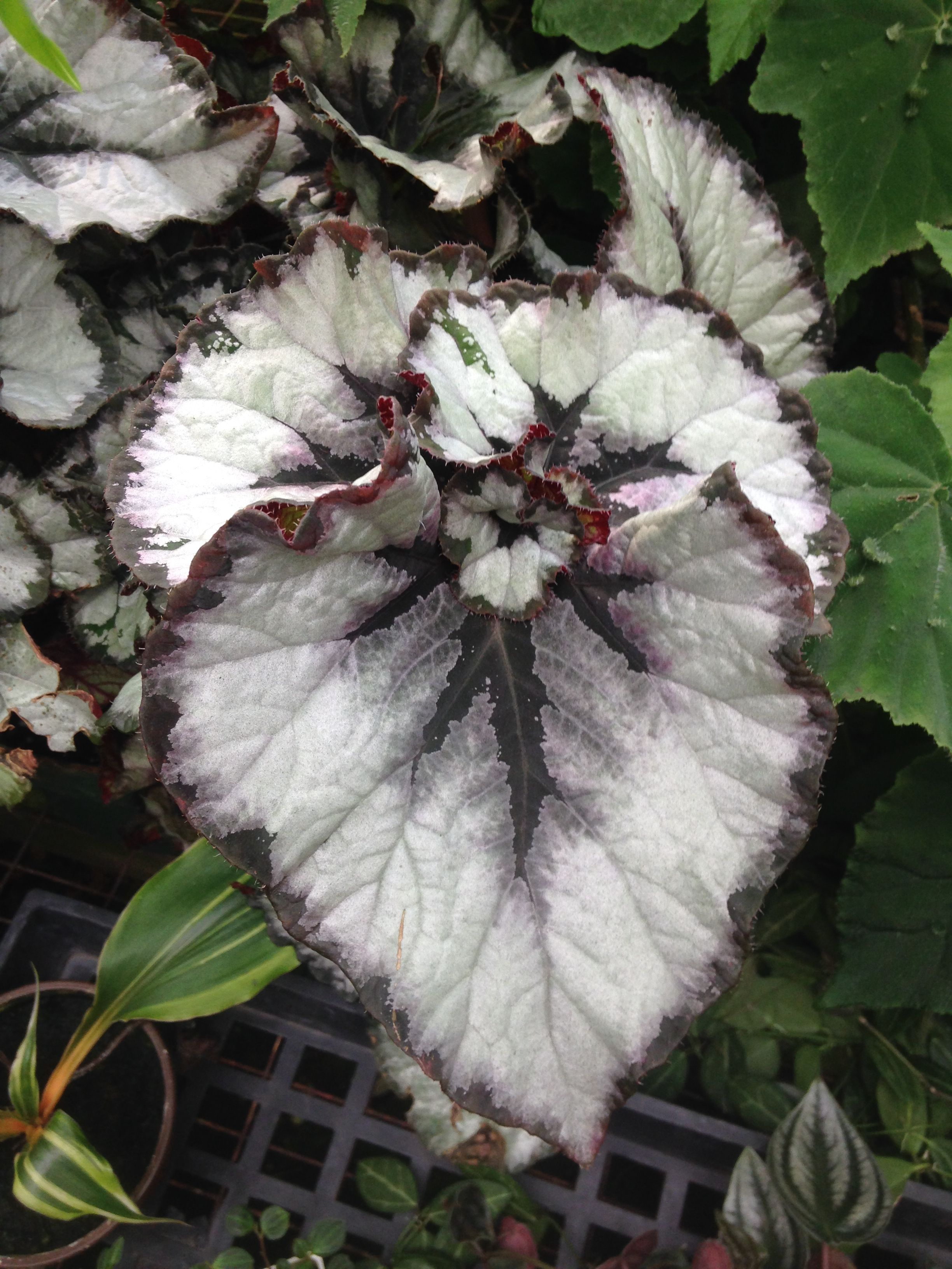 Begonia Smokey Eyes With Images Begonia Plants Tropical Plants