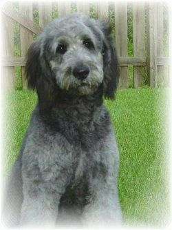 A Grey With White And Black Goldendoodle Is Sitting In Grass In A