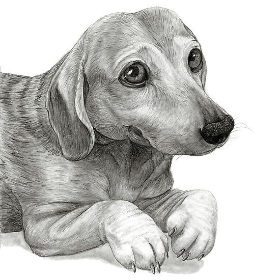 Graphite Pencil portrait drawing of Peanut the Dachshund