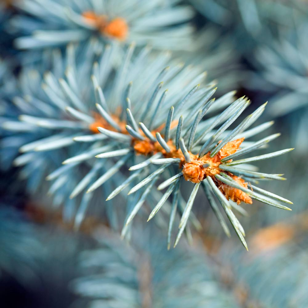Blue Spruce Fragrance Oil | Types of christmas trees, Blue ...