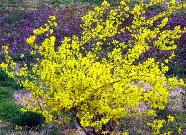 Yellow Bushes And Shrubs Planting With Forsythia Flowers In Bright Color Png
