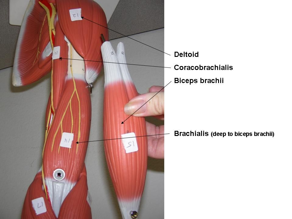 chest and arm muscles labeled models - biceps brachii, deltoid, Muscles