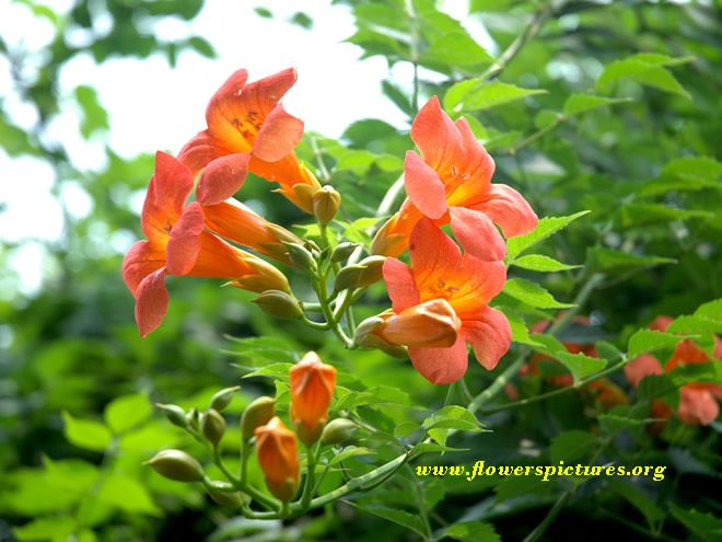 Trumpet Vine Yellow Trumpet Vine Pictures Pictures Of Yellow