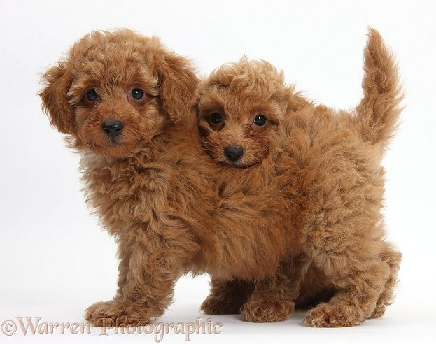 Dogs Two Cute Red Toy Poodle Puppies Photo Barboncino