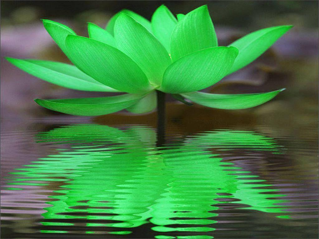 Green Lotus Reflection Flowersplants And Succulents Lotus Zen