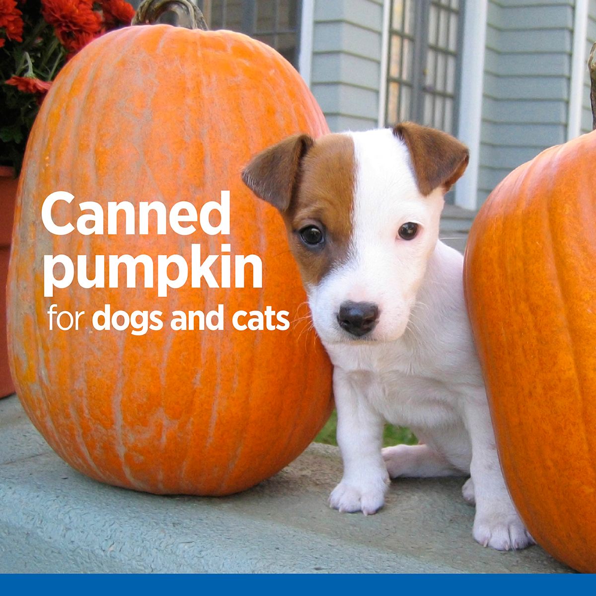 It S October So You Know What That Means Pumpkin Spiced Everything Coffee Cereal Crackers Yogurt Even Dog Cooki Canned Pumpkin For Dogs Pumpkin Dog Cat