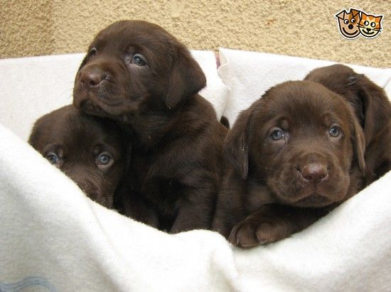 Chocolate Labrador Puppies Labrador Puppies Cute Animals