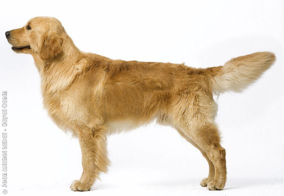 Golden Retriever Clumber Spaniel American Cocker Spaniel