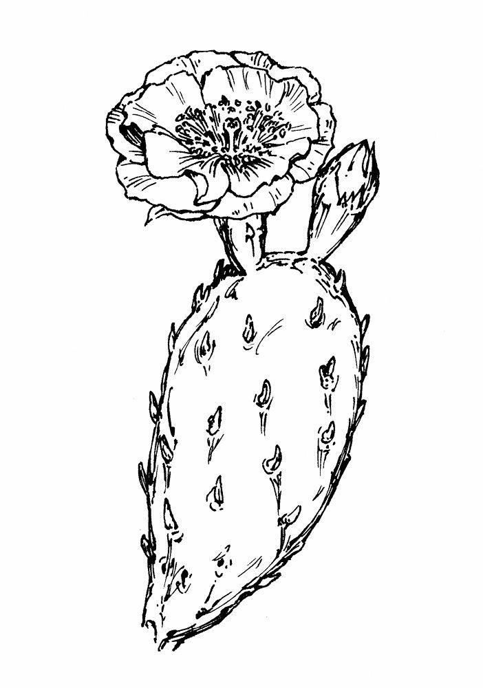 prickly pear cactus flower drawing - Google Search # ...  Cactus Flower Outline