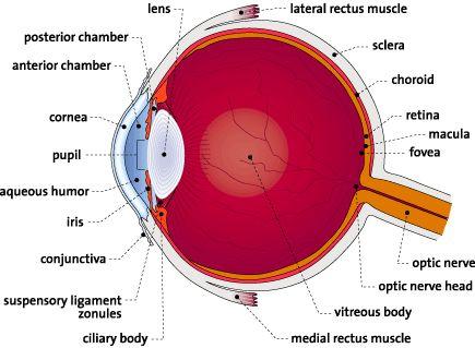 printable diagrams of the human eye  Human Eye Coloring Page