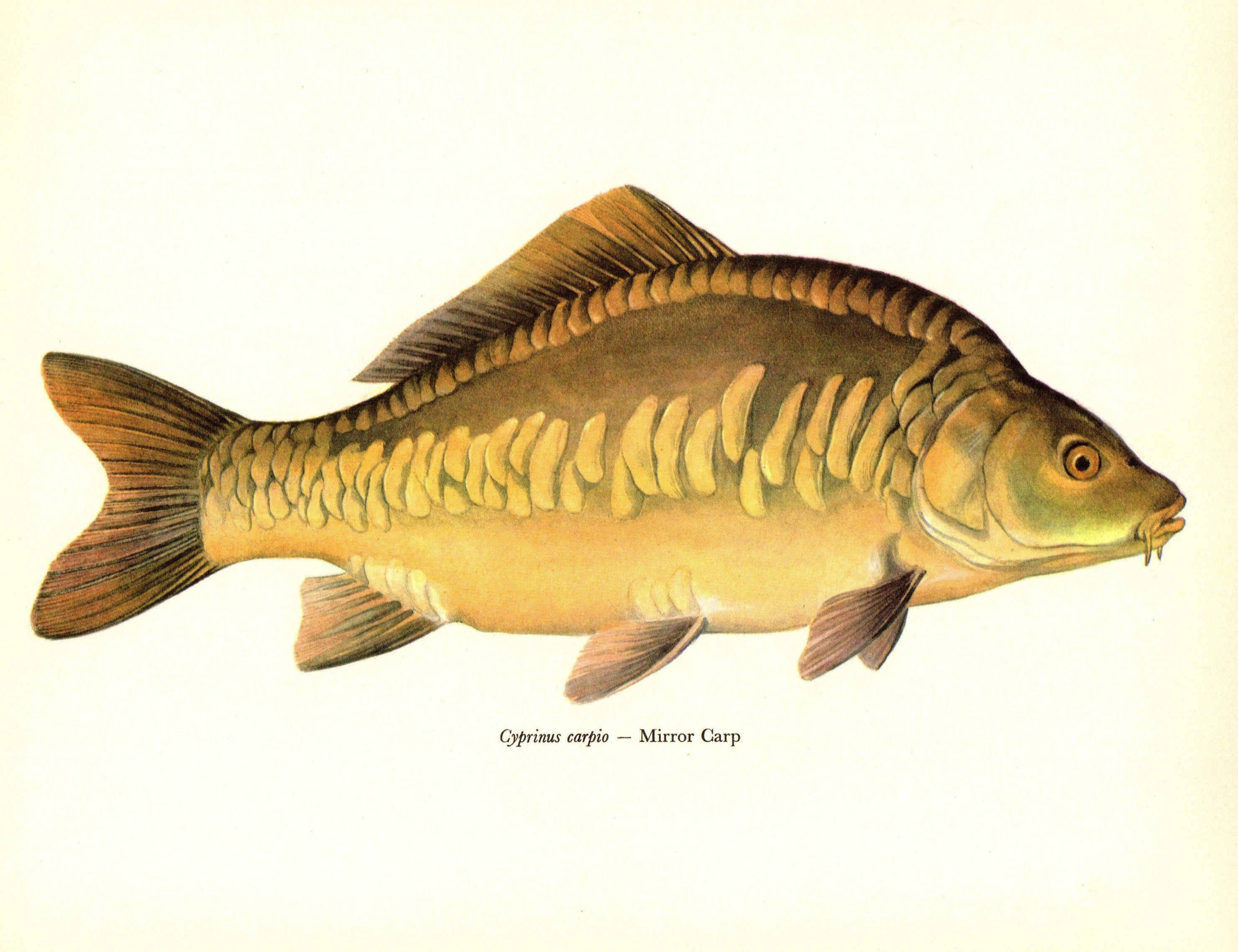 Antique Fish Prints Set of 4 Vintage Fish Art Gallery Wall Art ...