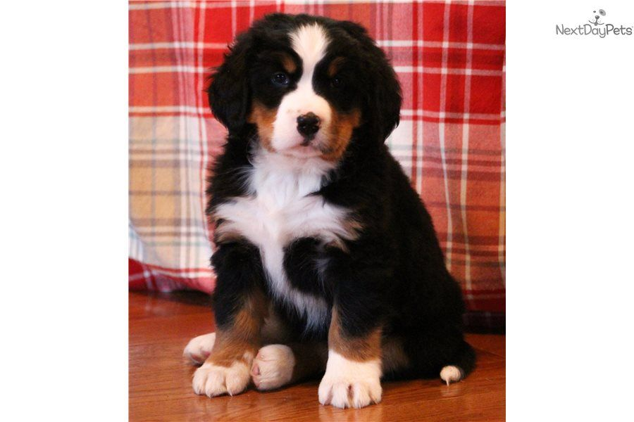 Dogs And Puppies Britt Bernese Mountain Dog Puppy For Sale