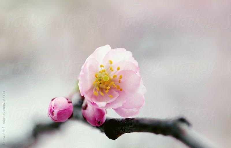 Close Up Of Cherry Tree Bud Flowering By Laura Stolfi Tree Buds Flowers Flower Bud