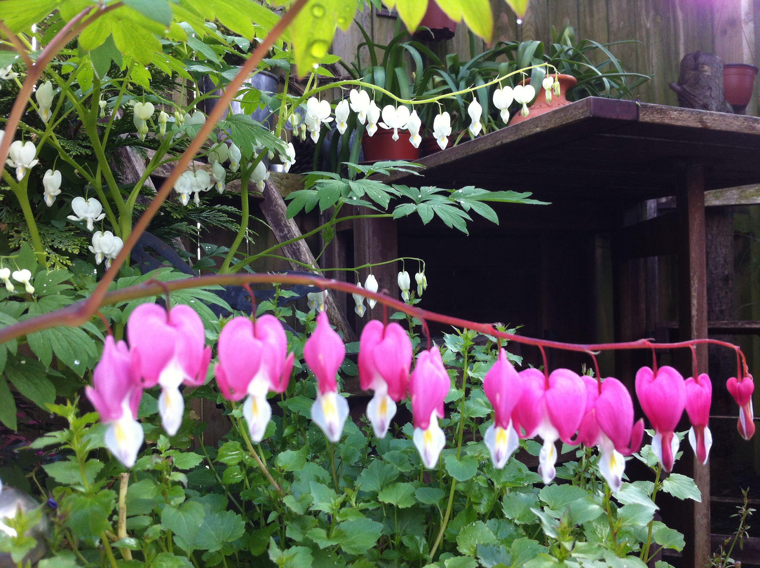 My beautiful pink u white bleeding hearts natures art natures