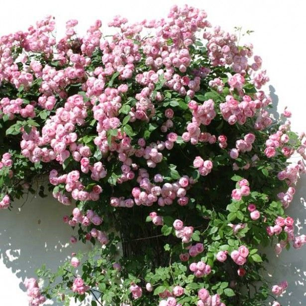 rosier grimpant pink cloud   flower world   pinterest