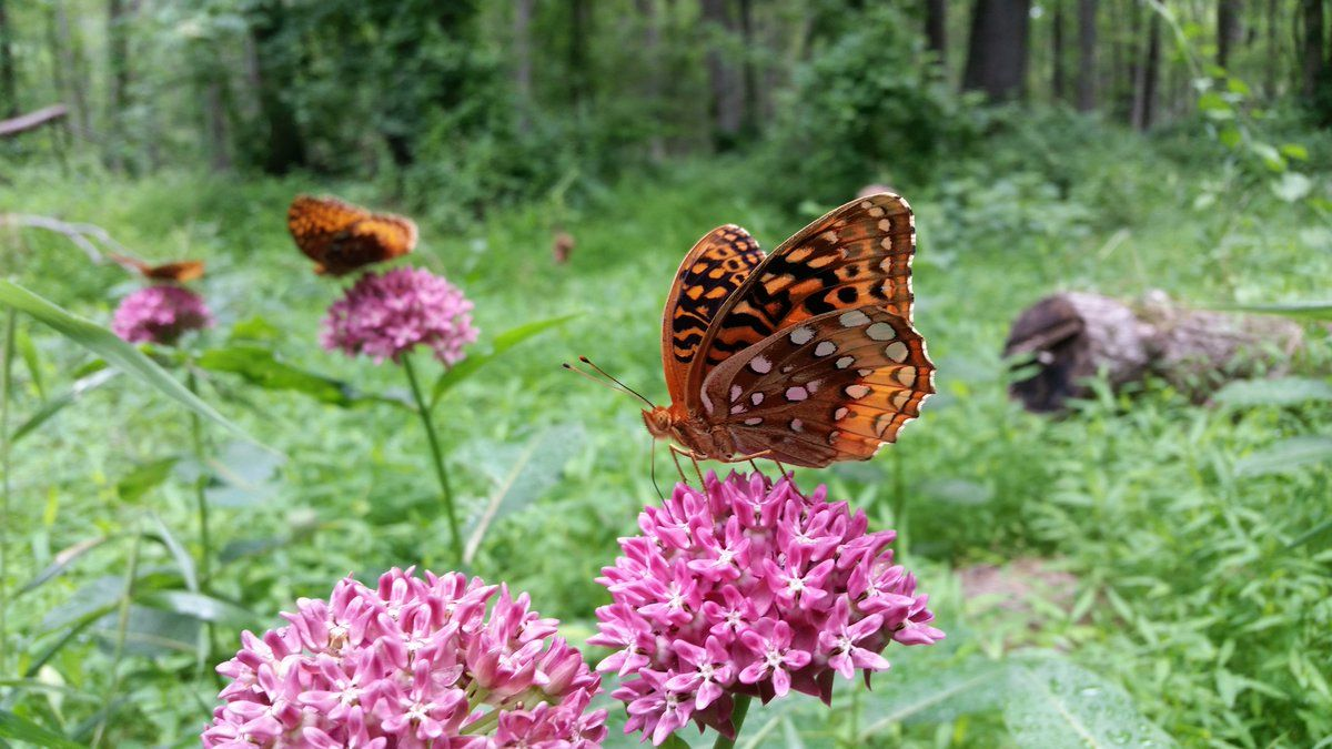US Fish and Wildlife on Milkweed, Monarch butterfly, Monarch