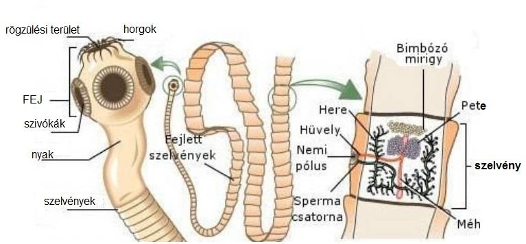 pinworms az iskolában)