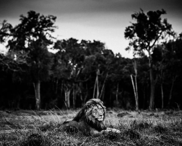 Peaceful Lion King by Laurent Baheux on 500px