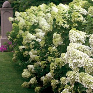 Limelight Hydrangea Paniculata Shrub A Hydrangea Hardy Through Zone 4 In The North With Blooms That Begin Shade Garden Limelight Hydrangea Beautiful Gardens