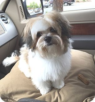 Lhasa Apso Maltese Mix Dog For Adoption In Los Angeles California Cowboy Louie Lhasa Apso Dog Adoption Pets