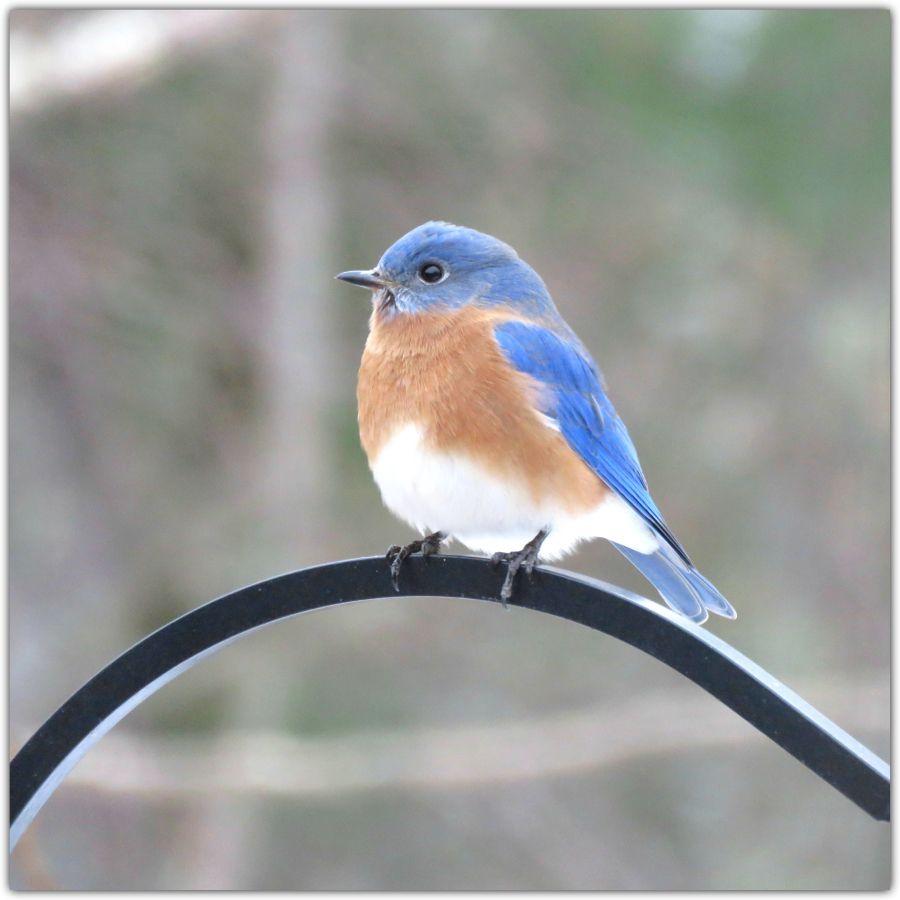 Eastern bluebird. January in southeastern New Hampshire.