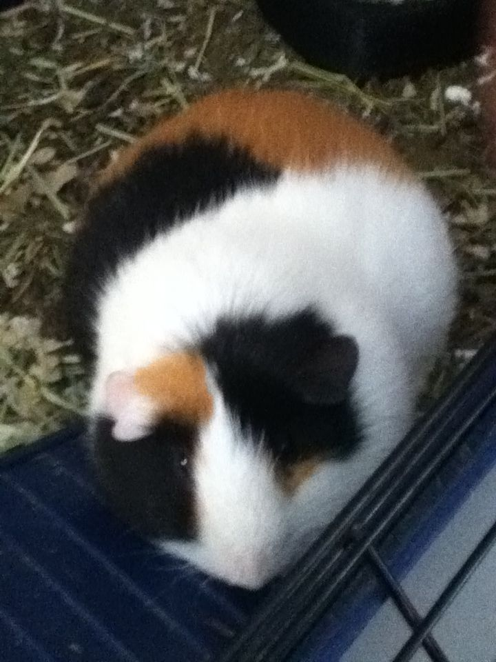 One of my guinea pigs butterscotch