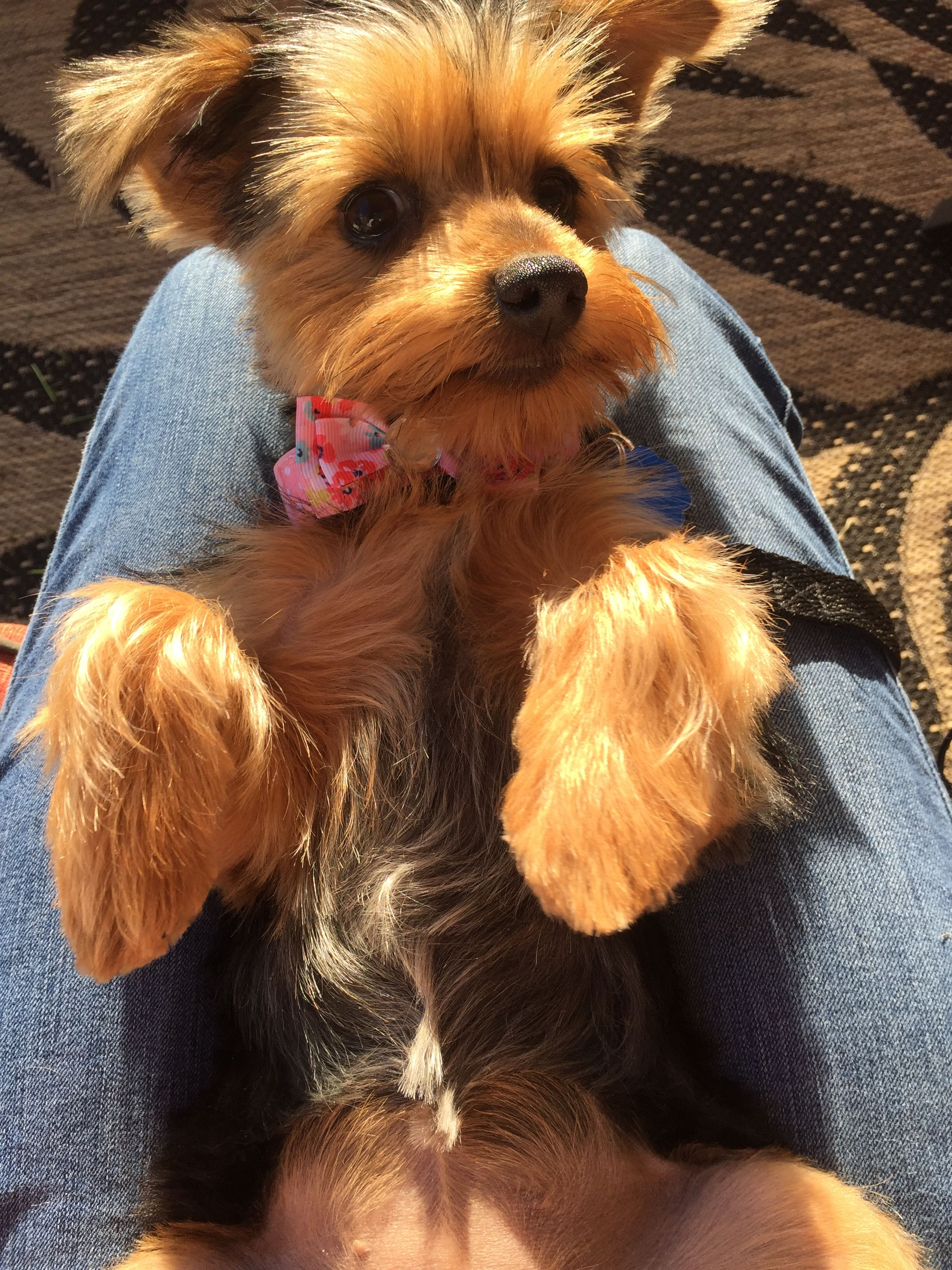Pin By Jill Brown On Yorkie Yorkshire Terrier For Sale