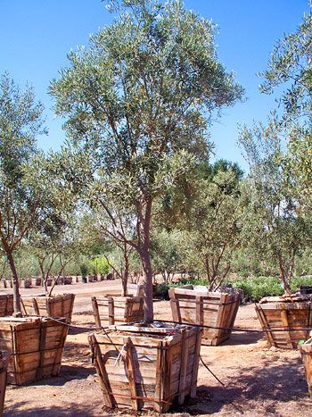 Fruitless Mission Growing Olive Trees Delivery Farming California
