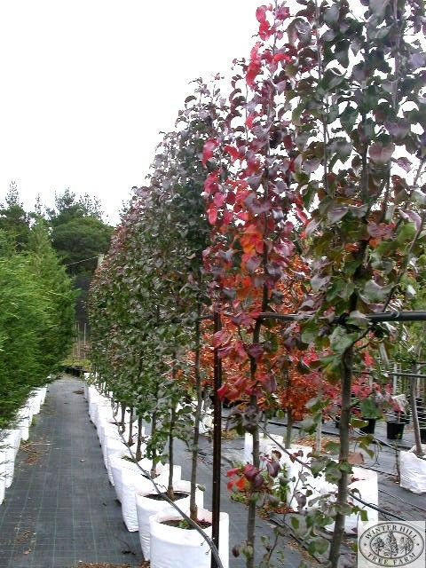 Capital ornamental pear grows to about 7m tall and 4m wide for Small narrow trees for gardens