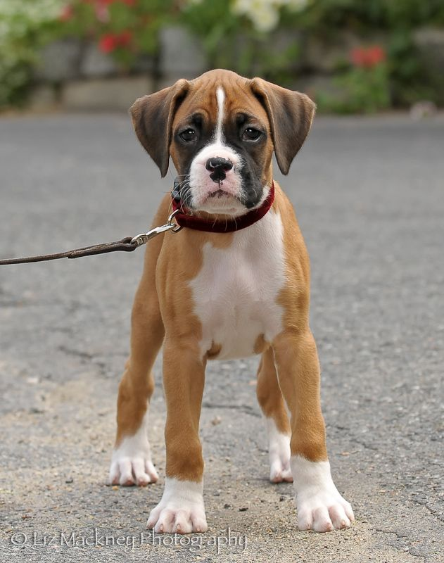 Young Boxer By Liz Mackney Photography Dogs Boxers Cute