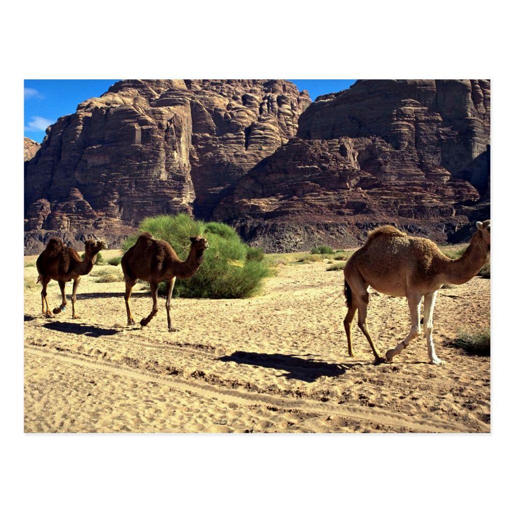 Camels in the desert of Wadi Rum, Jordan Desert Postcard | Zazzle.com