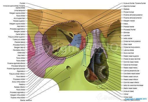 Orbital Cavity Lacrimal Groove Superior Orbital Fissure Inferior Orbital Fissure Nasolacrimal Canal Dental Anatomy Anatomy Dentistry