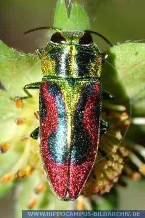 Anthaxia Candens Alias Kirsch Prachtkafer Bunter Insekten Kleine Tiere Tiere