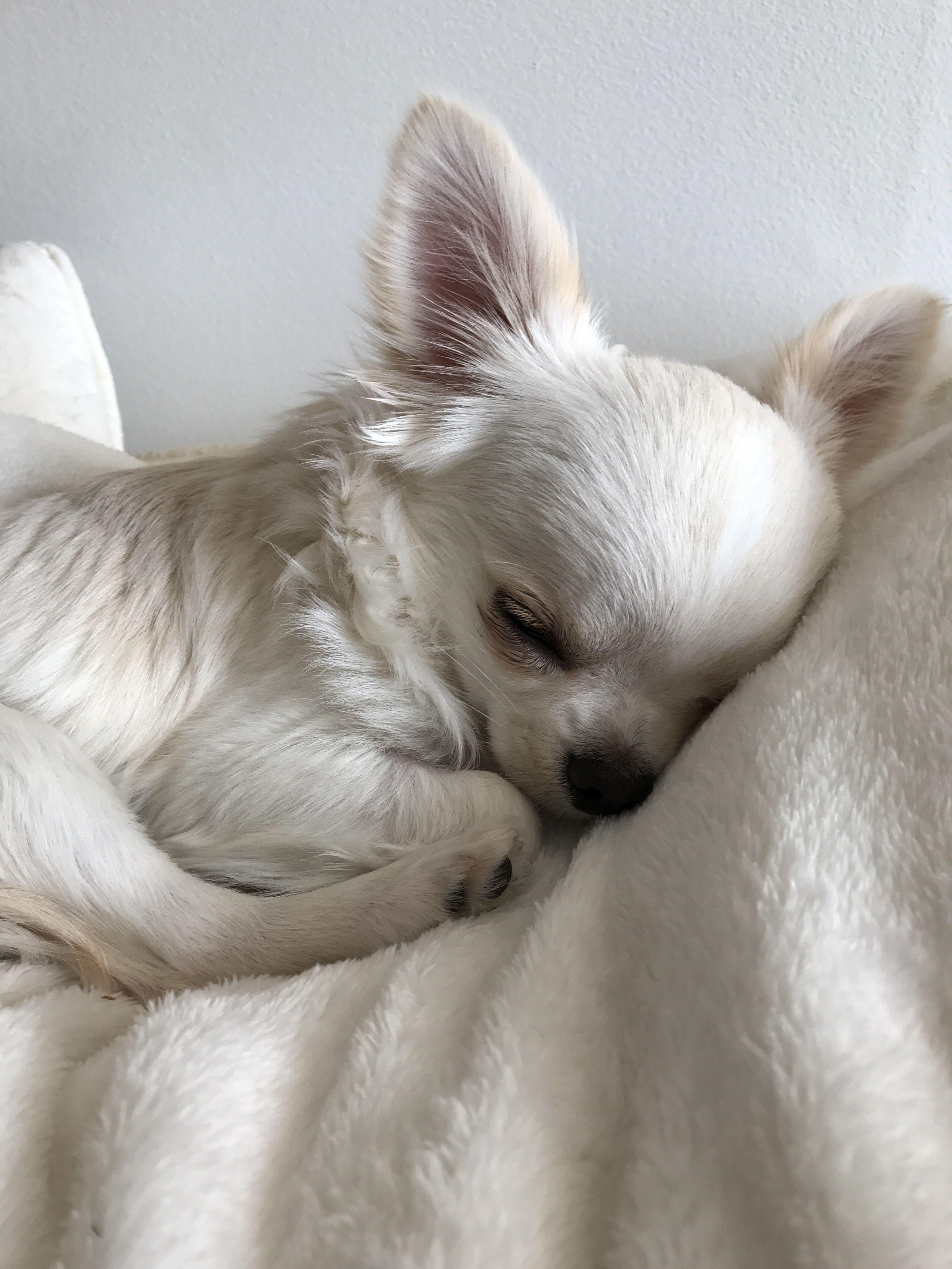 Pretty White Chihuahua Sleeps Like A Beautiful Princess