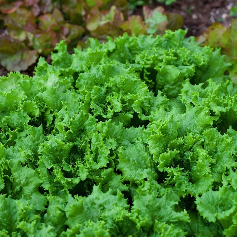 LECHUGA DEL PAÍS Herbs, Lettuce, Parsley