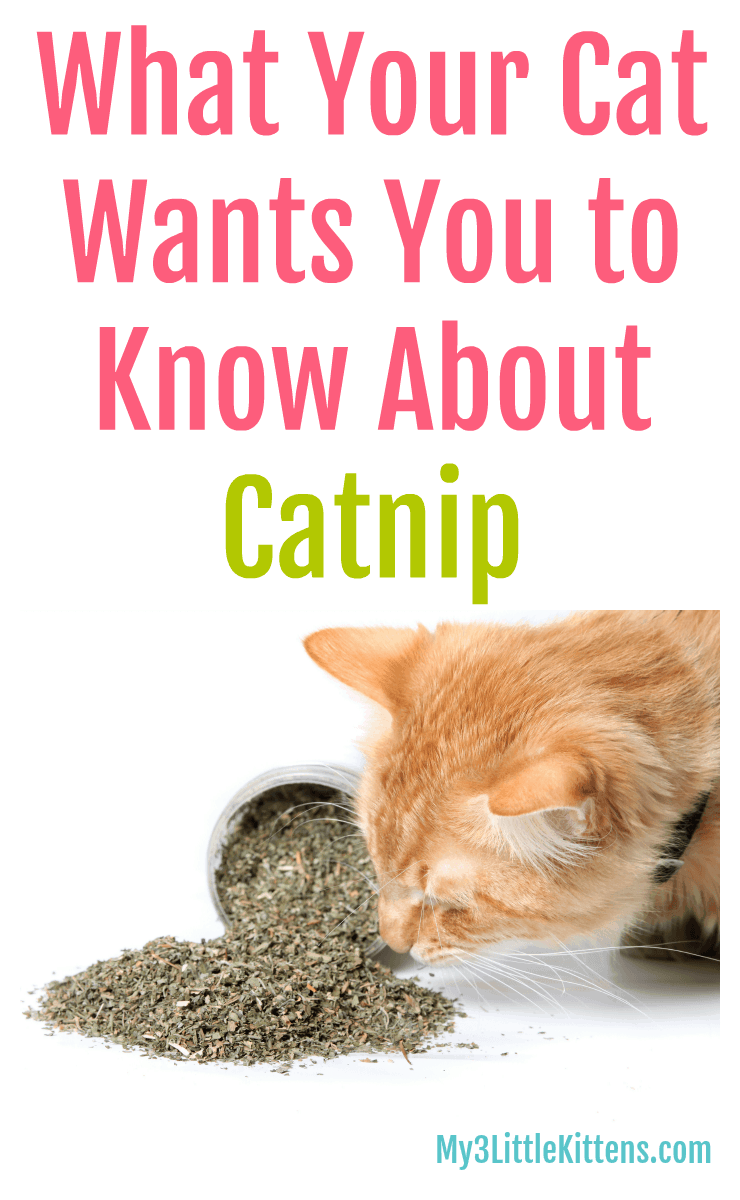What Your Cat Wants You To Know About Catnip Little Kittens Kittens Cats