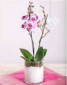 Singapore Flowers Singapore Sling Phalaenopsis Orchid Phalaenopsis Orchid Orchids Online Beautiful Flowers