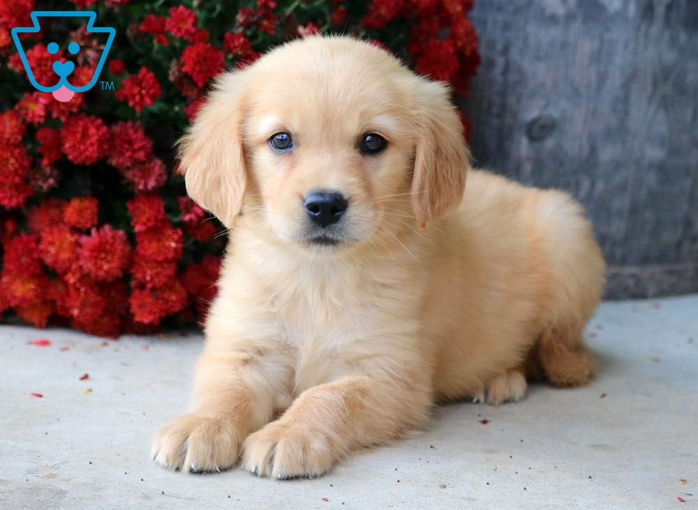 Hannah Golden Retriever Puppy For Sale Keystone Puppies Golden Retriever Puppies Funny Golden Retriever Puppy Red Golden Retriever Puppy